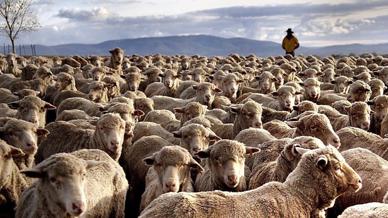 Множество скота #ВЕГЕТАРИАНСТВО #ВЕГАН #ВЕГАНСТВО #ВЕГЕТАРИАНЕЦ #GoVegan #ХРИСТОЛЮБ — christolube.ru