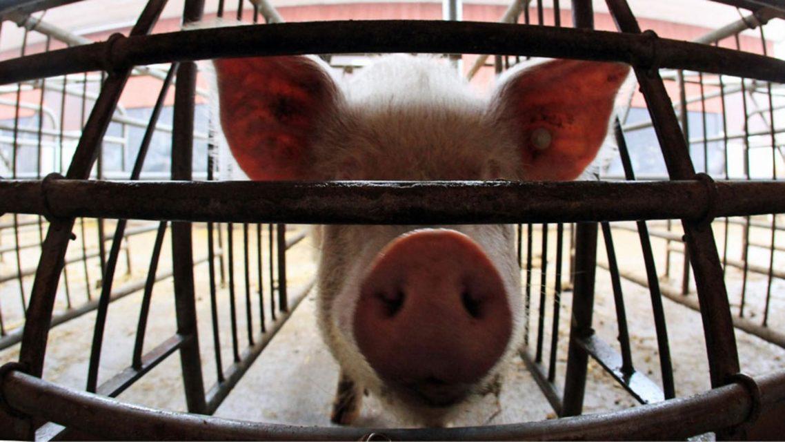 Свинья за решёткой в клетке #ВЕГЕТАРИАНСТВО #ВЕГАН #ВЕГАНСТВО #ВЕГЕТАРИАНЕЦ #GoVegan #ХРИСТОЛЮБ — christolube.ru